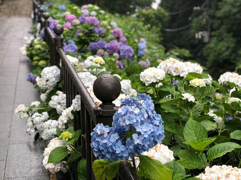 参道の黒い手すりと紫陽花