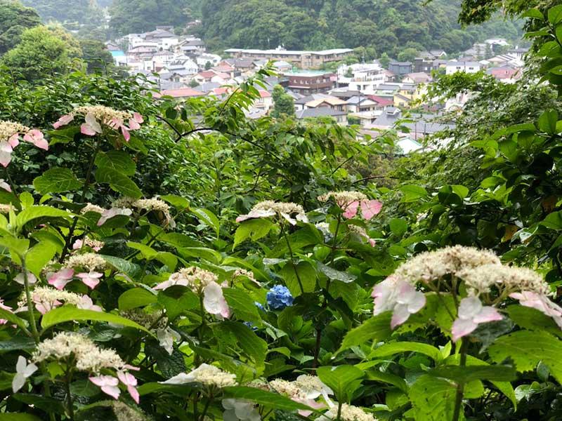 紫陽花と長谷の町並み