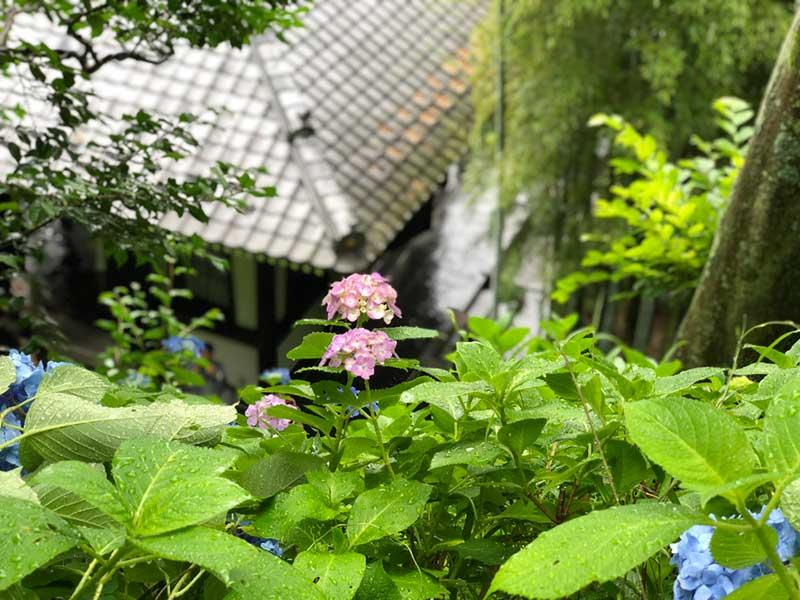 仏堂の屋根と紫陽花