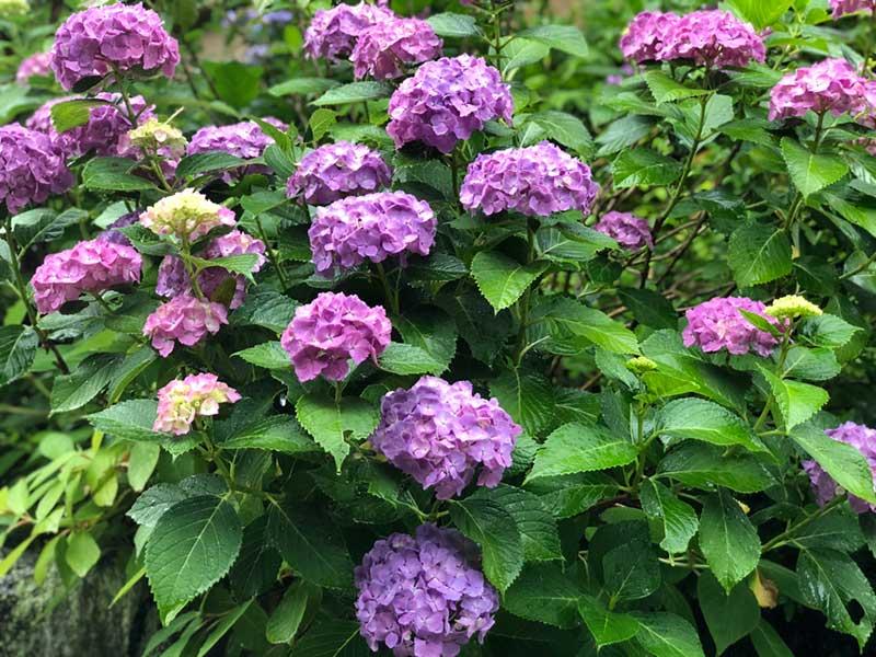 こっちは濃い紫色の紫陽花