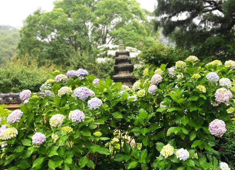 【最新2018鎌倉・光則寺あじさい開花状況】満開の花寺と絶叫の鳥寺?解説付きの花園が親切です