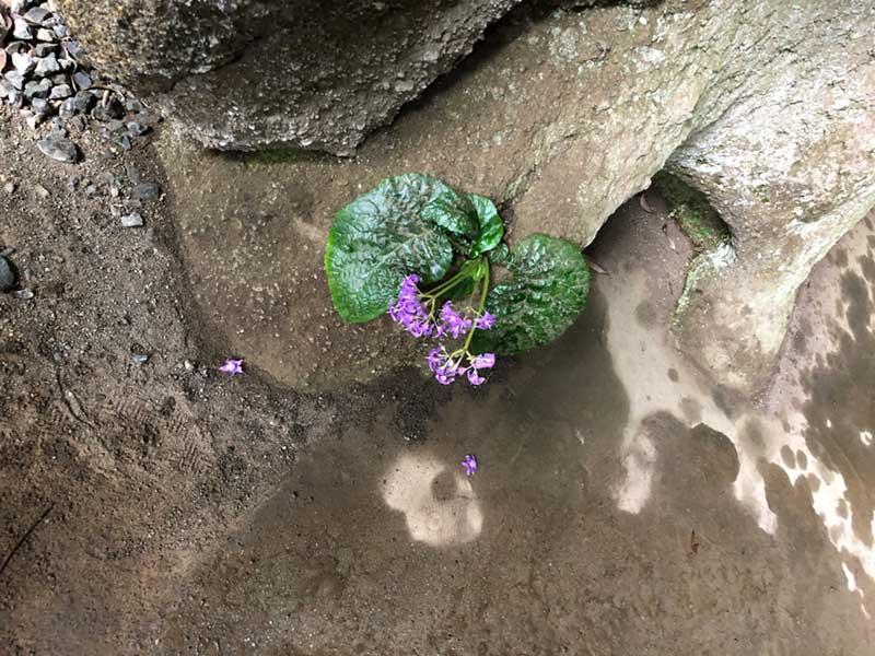 やぐらの岩肌に生える小さな花