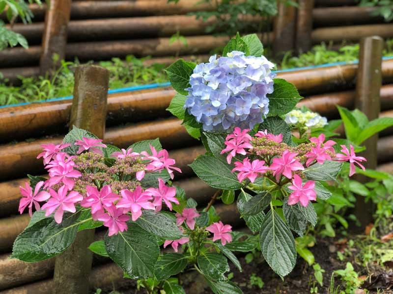 道端にも綺麗な紫陽花