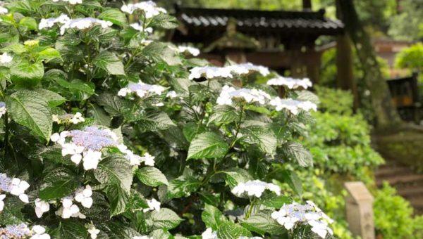 【最新2018北鎌倉・浄智寺あじさい開花状況】ただひっそりと。自然にすっぽり包まれた隠れ家的なお寺です