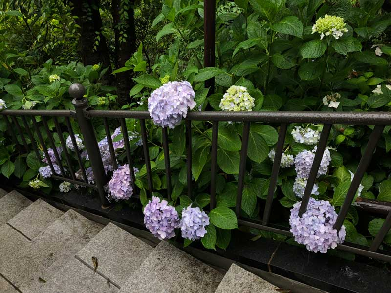 点在する紫陽花