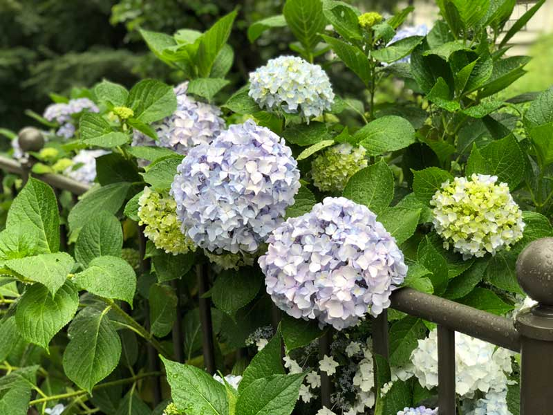 こっちにも紫陽花