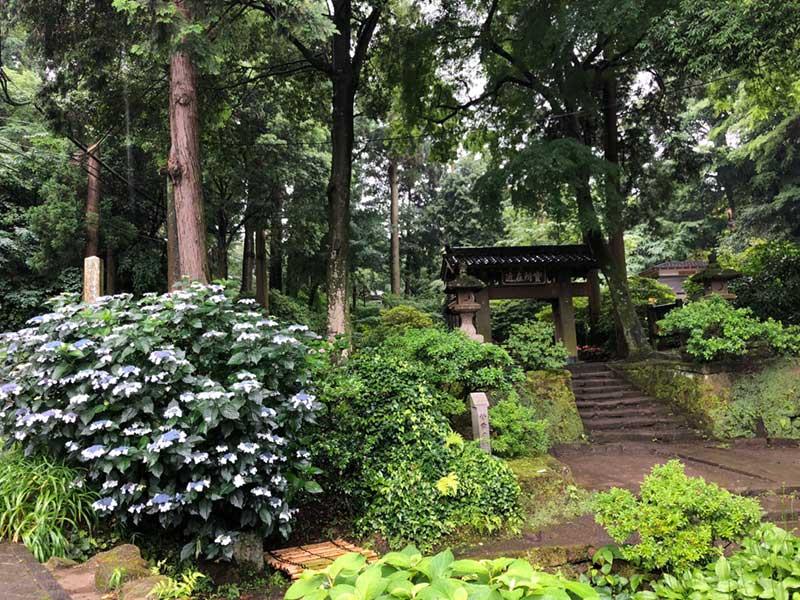 浄智寺の入口の紫陽花