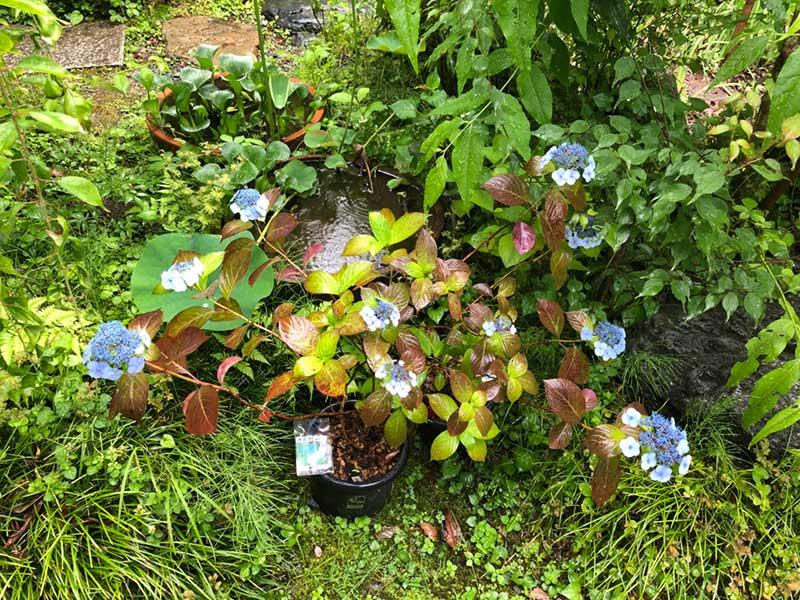 鉢植えされた紫陽花