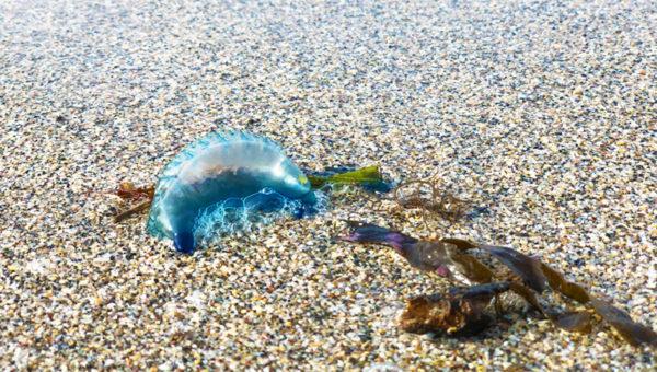 【猛毒注意】鎌倉に青い透明袋状のぷよぷよ物体カツオノエボシが大量漂着!絶対に手で触ってはいけない!