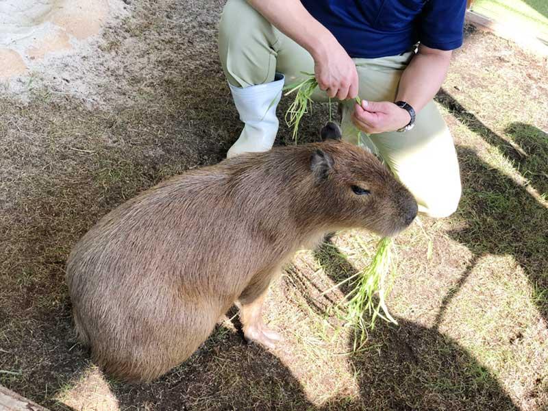 モサモサとひたすら草を食べるカピバラ