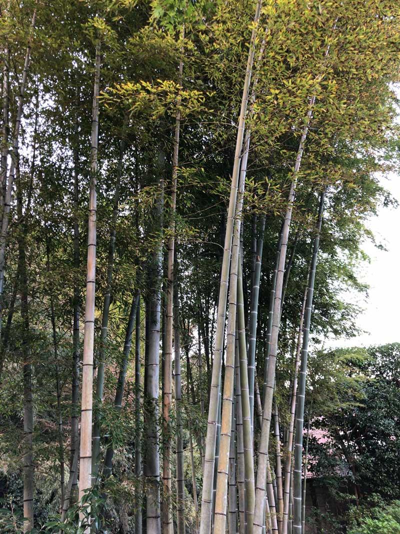 立派な竹林