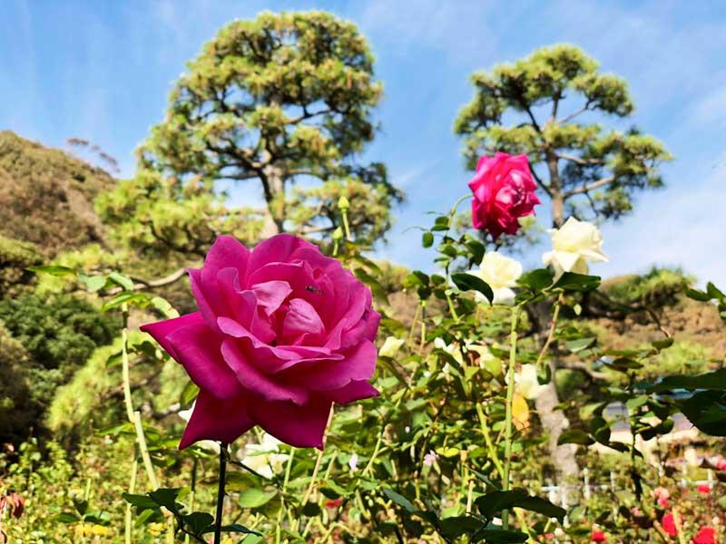 紫色の色気があるバラ