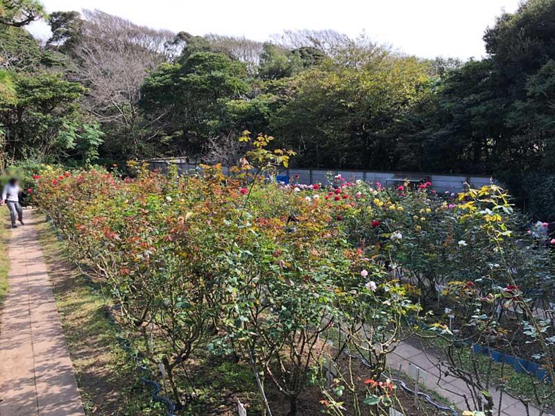 200種250株のバラが咲き乱れる園