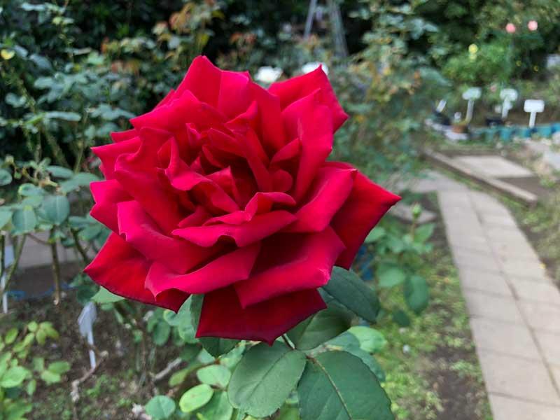 立派な赤いバラ