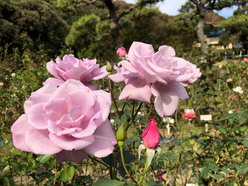 淡い紫色のバラ
