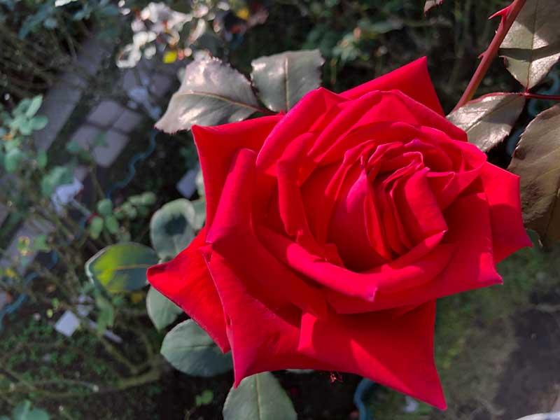真っ赤な気品あるバラでした