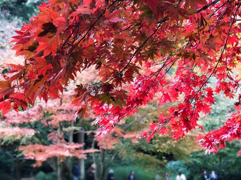 今が盛りの明月院の紅葉