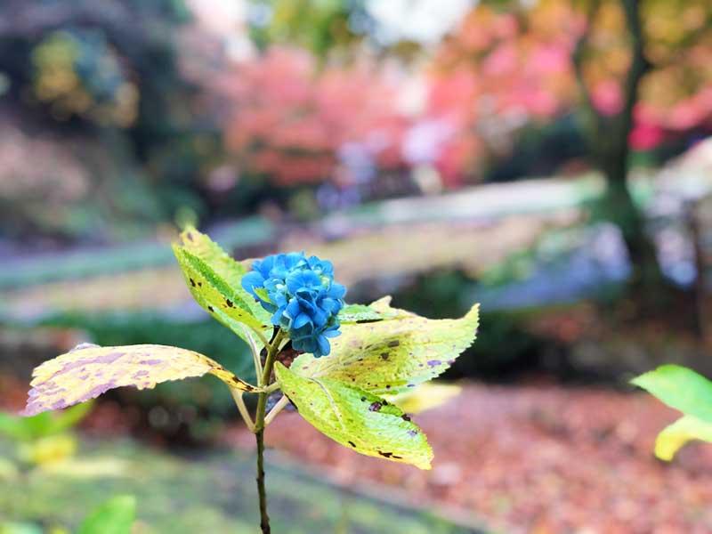 一輪だけ咲いていた秋の紫陽花