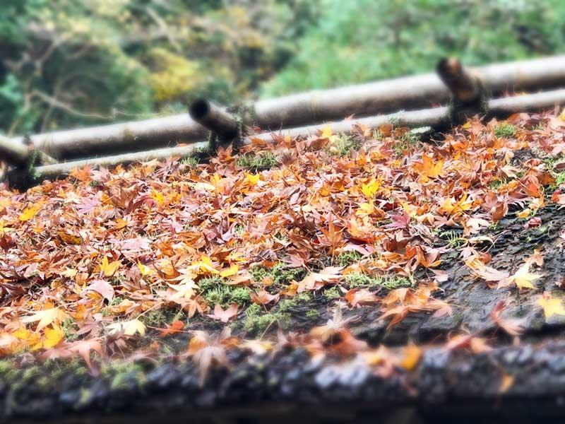 茅葺屋根に落ち葉が積もる