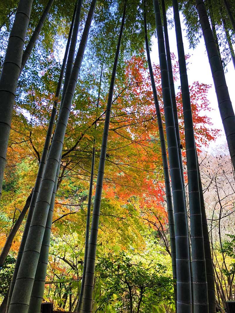 シュッとした竹林とワサッとした紅葉の組み合わせもイイ