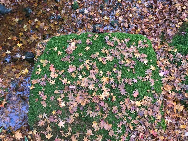 緑の苔ともみじ