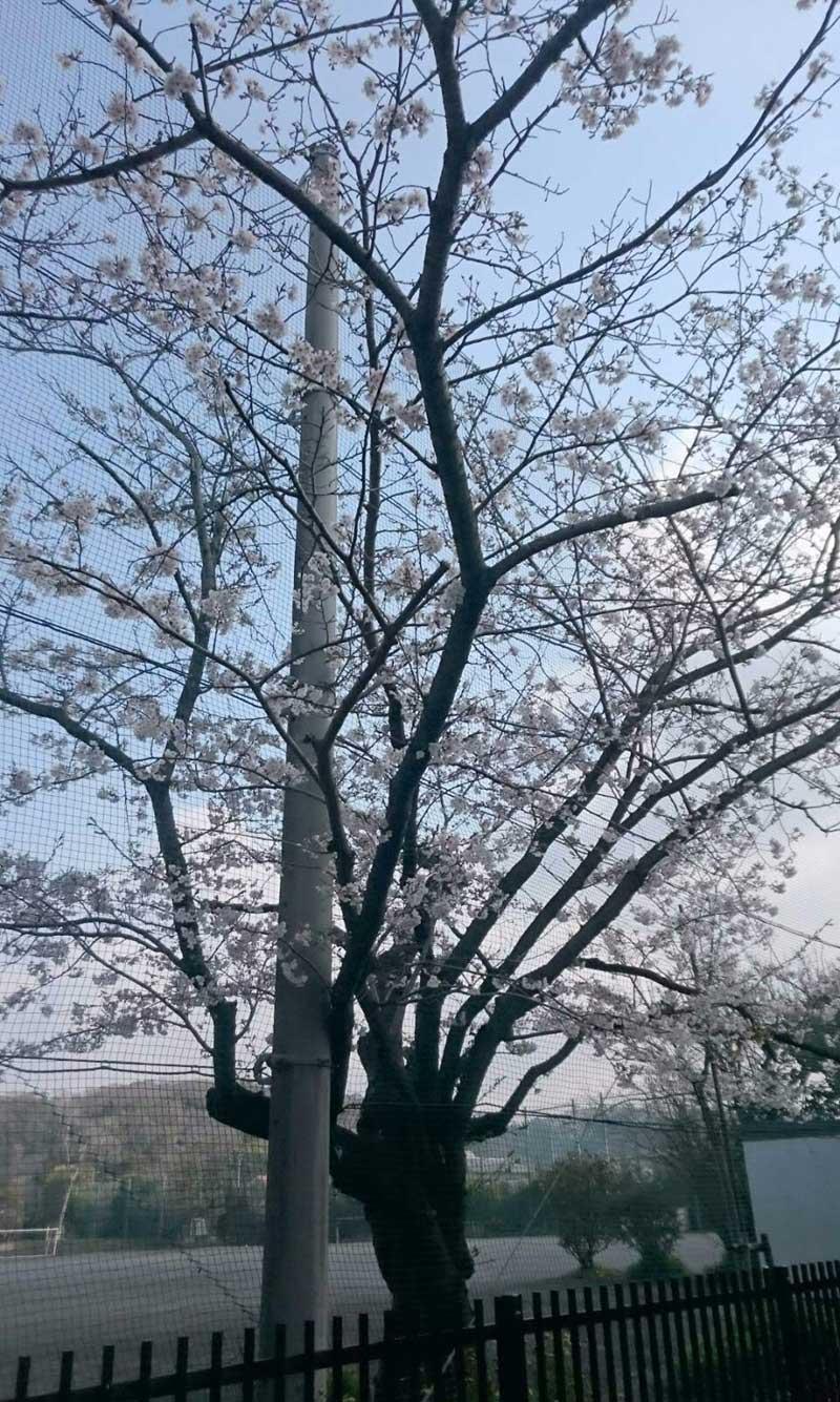 学校のまわりの桜も満開