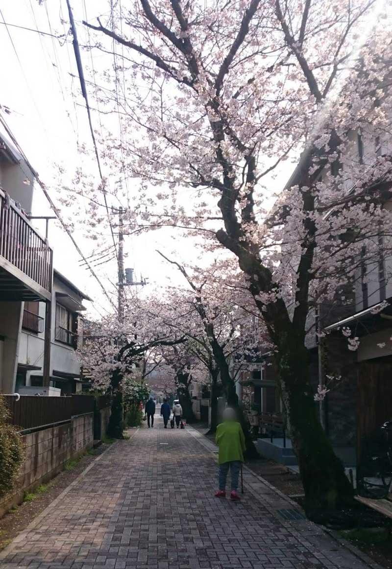 まさに満開の桜です