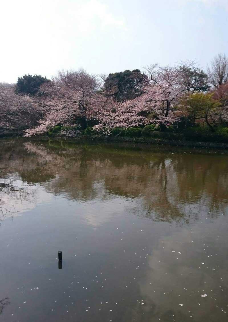 あと数日で散り桜か