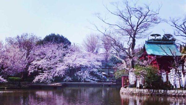 【鎌倉桜開花状況3月末~4月上旬】鶴岡八幡宮前の段葛以外はほぼ満開で見頃!花見するならお早めに!