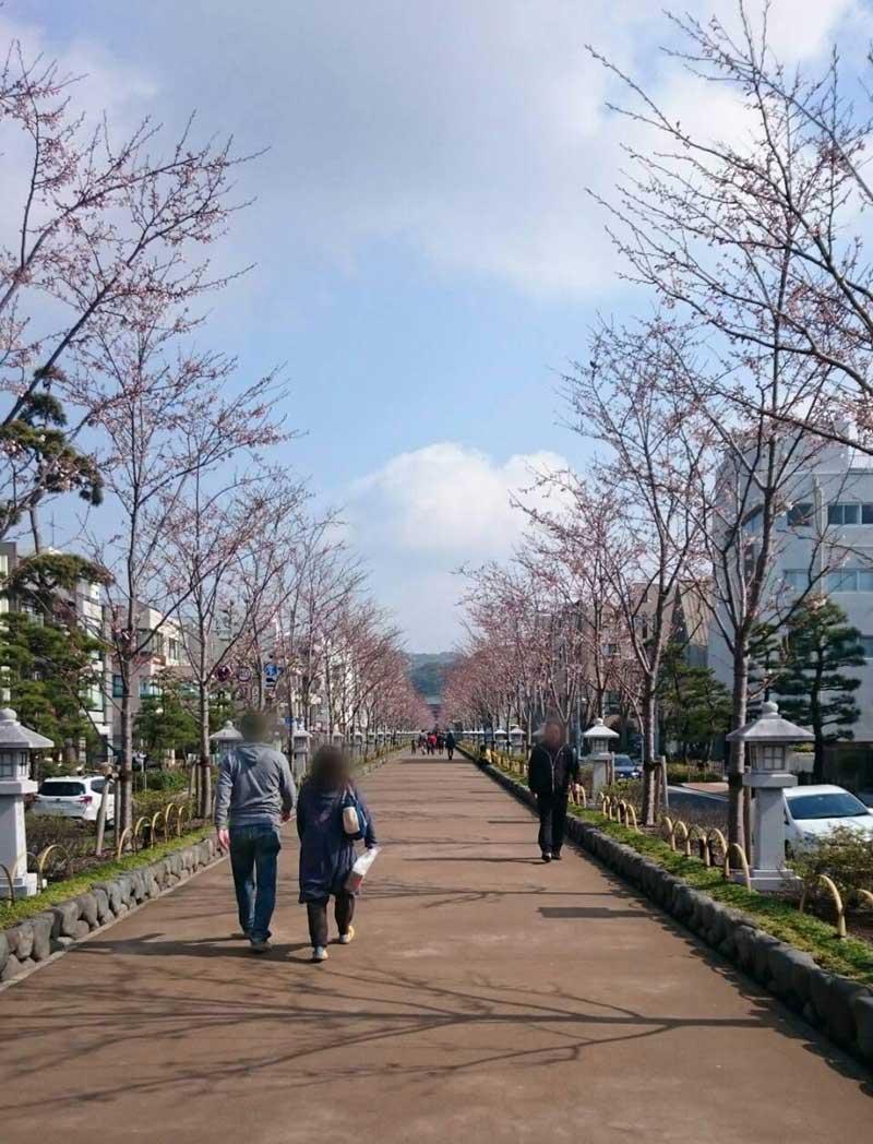 鶴岡八幡宮の参道・段葛はまだまだ五分咲き