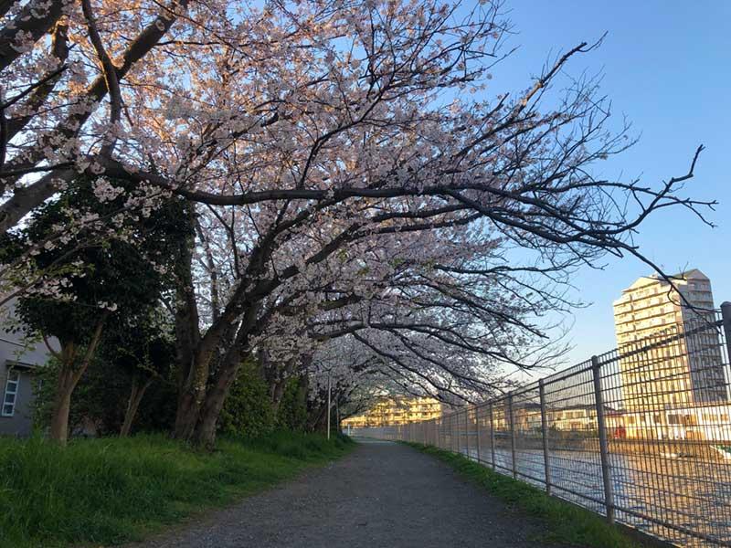 境川の桜が満開
