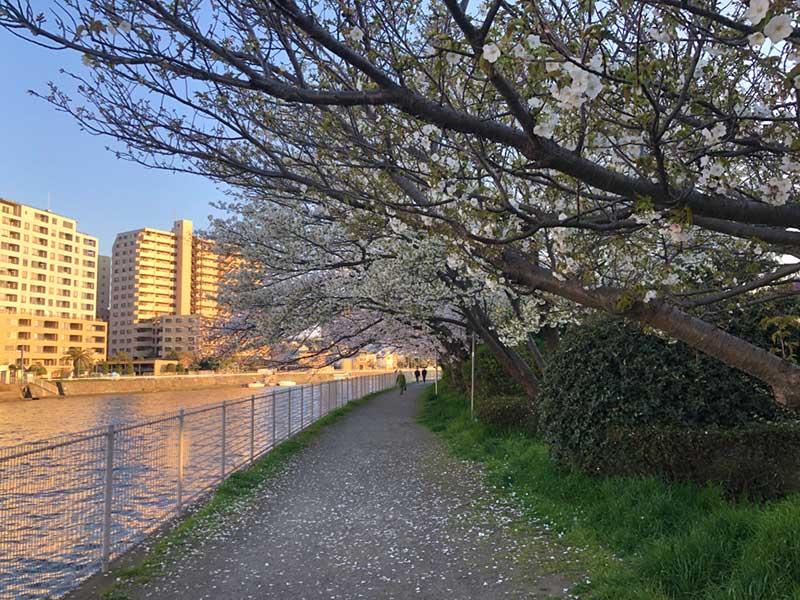こっち側はもう葉桜か