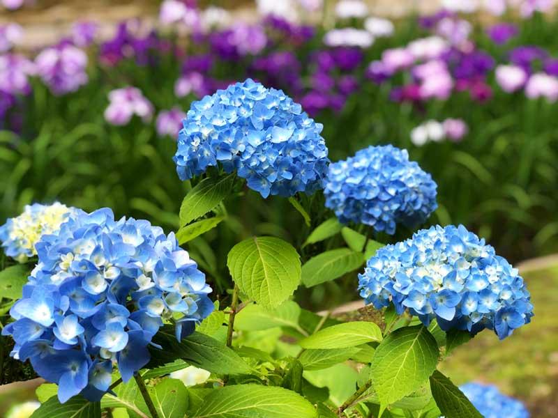 奥の庭園もあじさいと花菖蒲が素敵