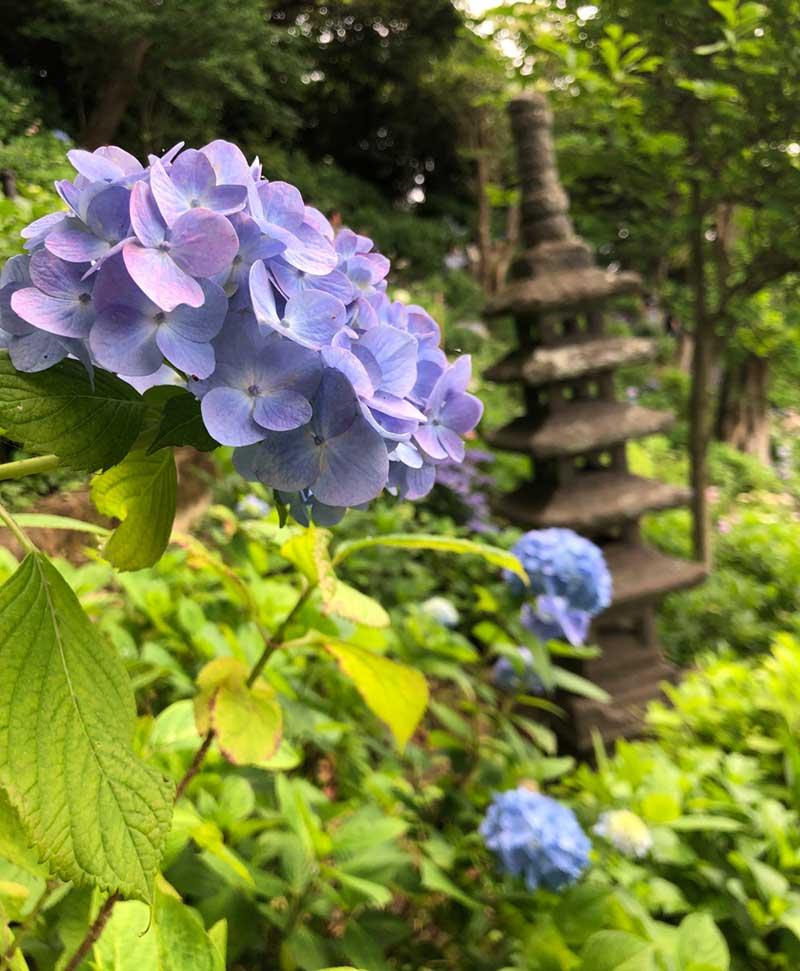 紫陽花と仏塔