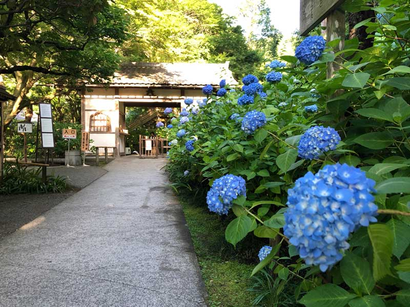 明月院の入口の紫陽花