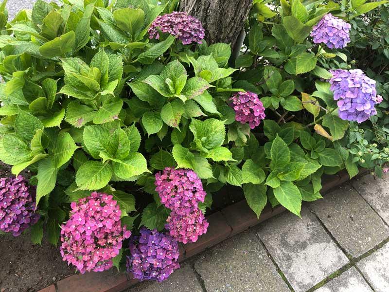 紫陽花も綺麗に咲いている