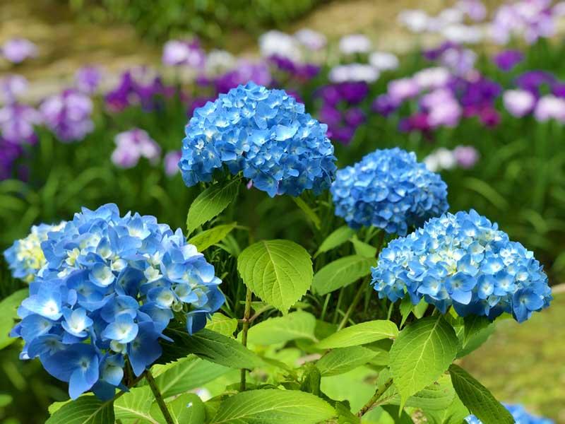 明月院ブルーと紫の花菖蒲