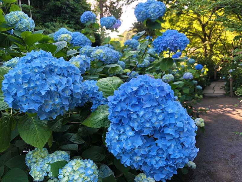 青一色の明月院ブルー