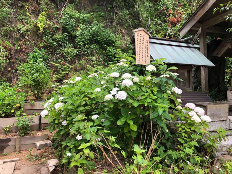 御霊神社の境内にもあじさいがいっぱい御霊神社の境内にもあじさいがいっぱい