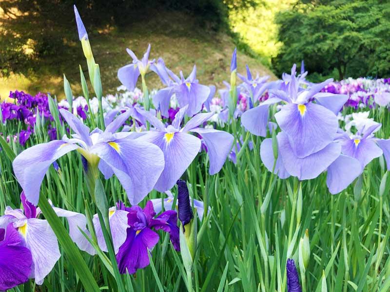 少し淡い色の紫もきれい