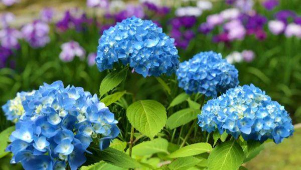 【2019明月院の紫陽花&花菖蒲】期間限定で今が見頃!ブルーと紫の最高の組み合わせ!