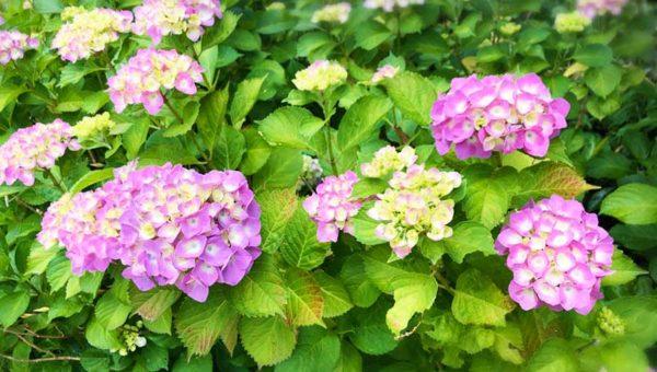 【鎌倉の穴場!稲村ヶ崎公園2019あじさい開花情報】6月上旬は頂上の一部だけ赤紫色!公園全体はまだ色付かず
