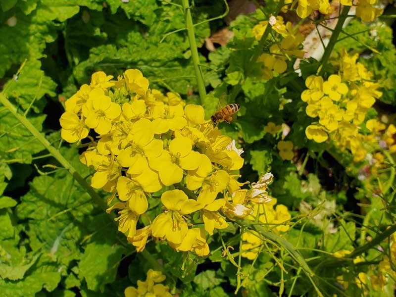 菜の花に集まるミツバチ