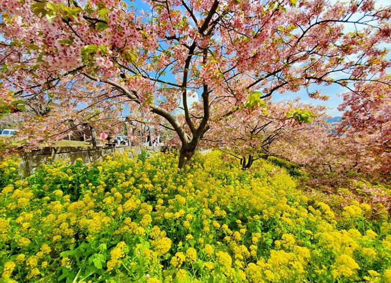 【コロナ影響で短縮開催!まつだ桜まつり2020】混雑しない穴場花見スポット!河津桜のピンクと菜の花の黄色が映える!