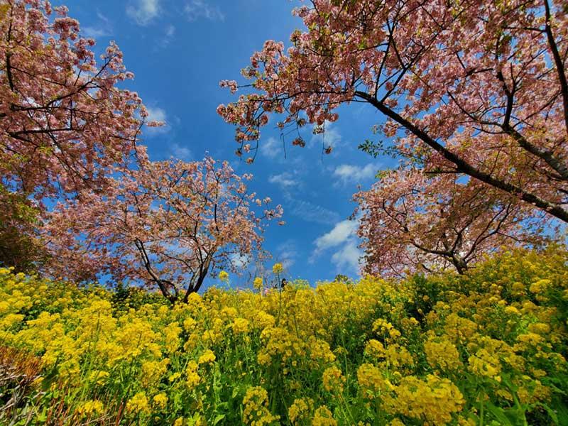桜と菜の花と青い空