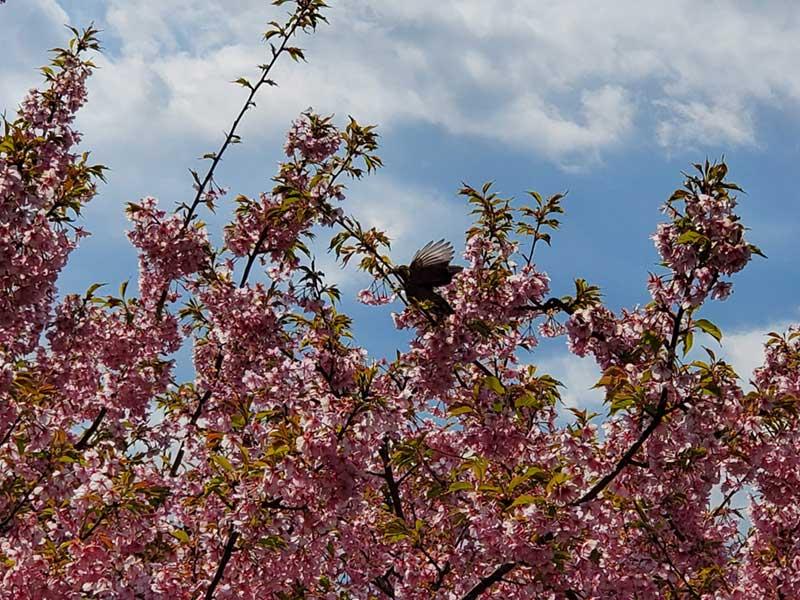 桜をついばむ小鳥