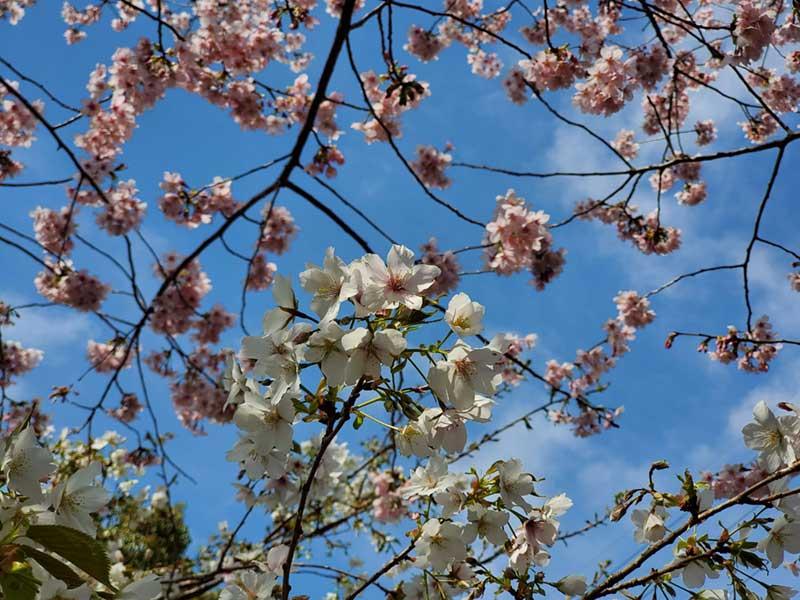 珍しい白い河津桜