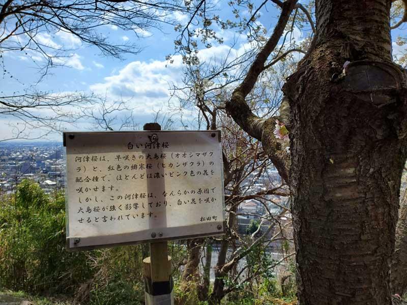 白い河津桜の説明