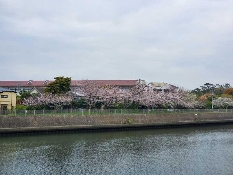 境川沿いは桜の名所