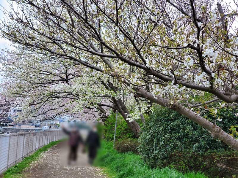地元の人もお花見散歩
